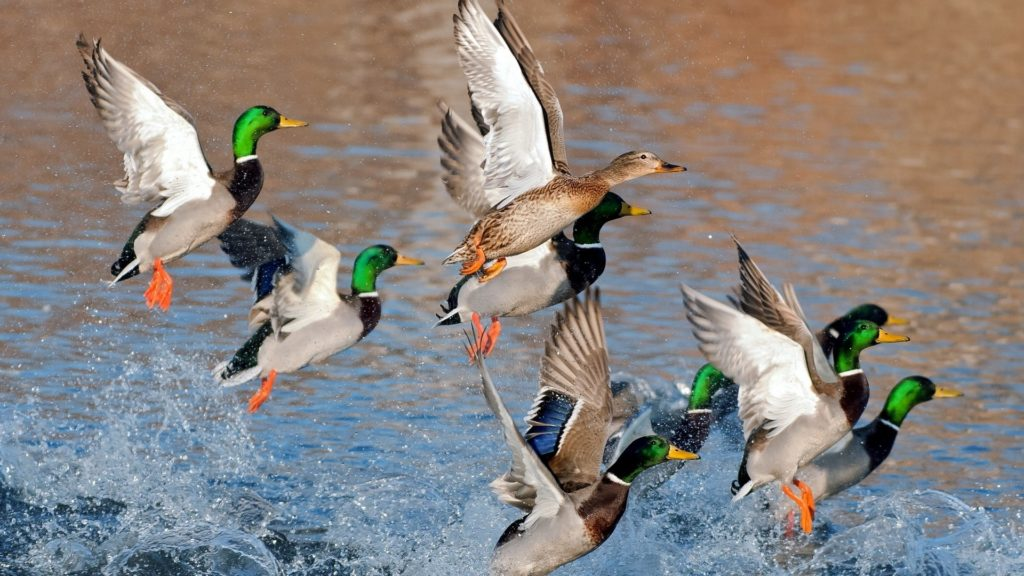 nature_birds_ducks_lakes_mallard_1920x1080_wallpaper_Wallpaper_1920x1080_www.wallpaperhi.com